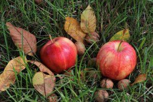 地面に落ちている2つのリンゴ
